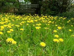 Dandelion Weeds causing havoc for Lawn Care