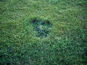 rosette style lawn weed damage from dandelion
