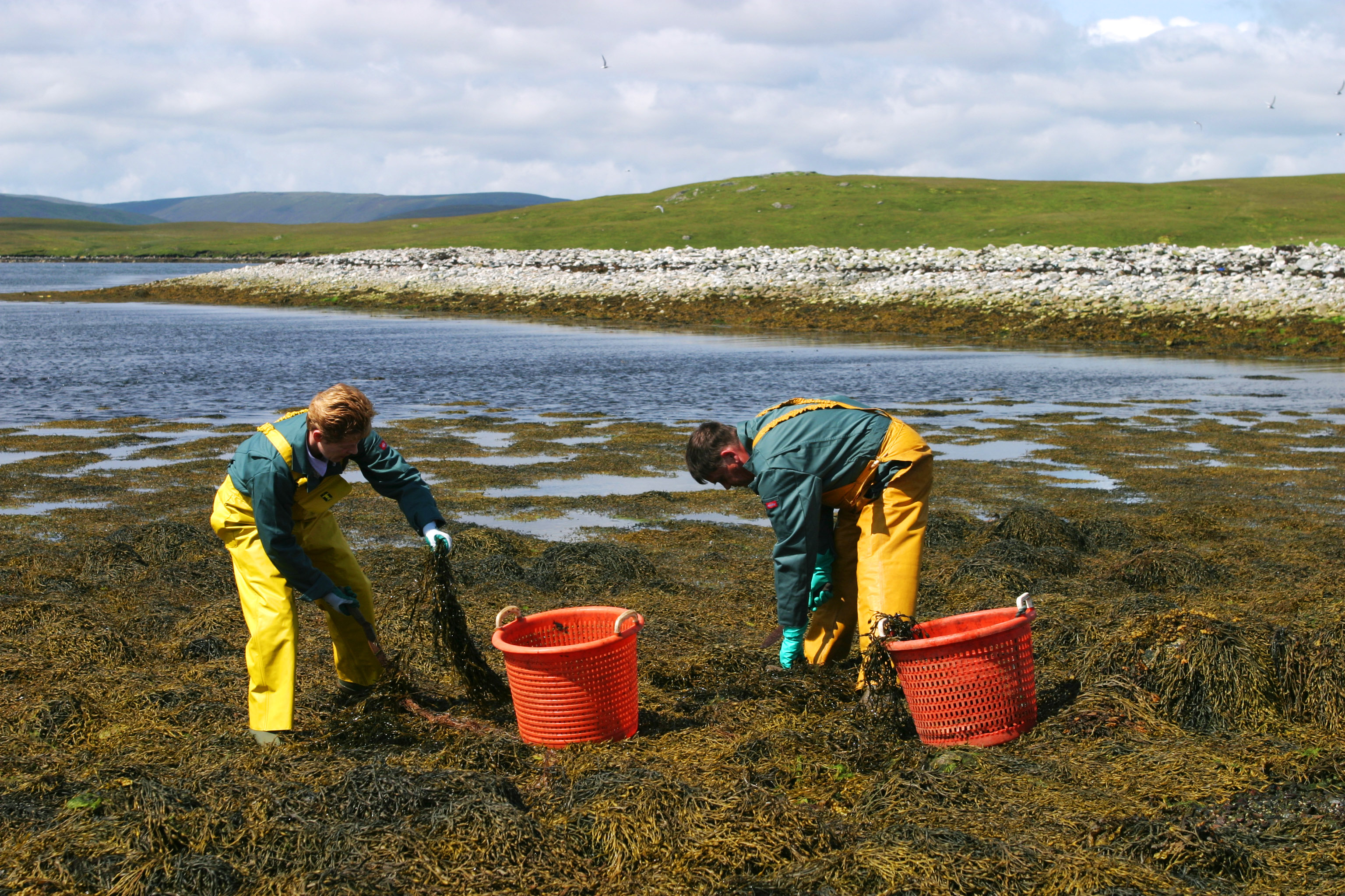 Seaweed, and Why it Should be an Essential Part of Fine Turf Maintenance.