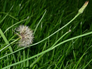 Lawn Weeds, pests and diseases include dandilions, as shown here.