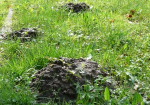 A molehill on a lawn