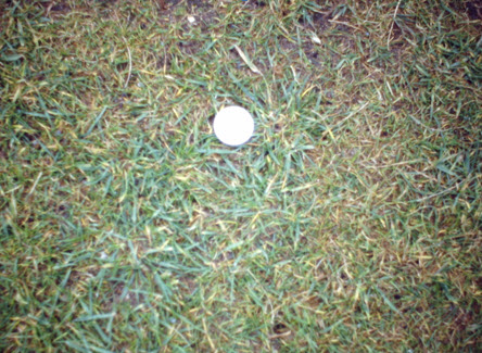 Multiple grass types - an example of rye grass invading fine turf