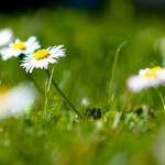 A close-up of grass and daisys